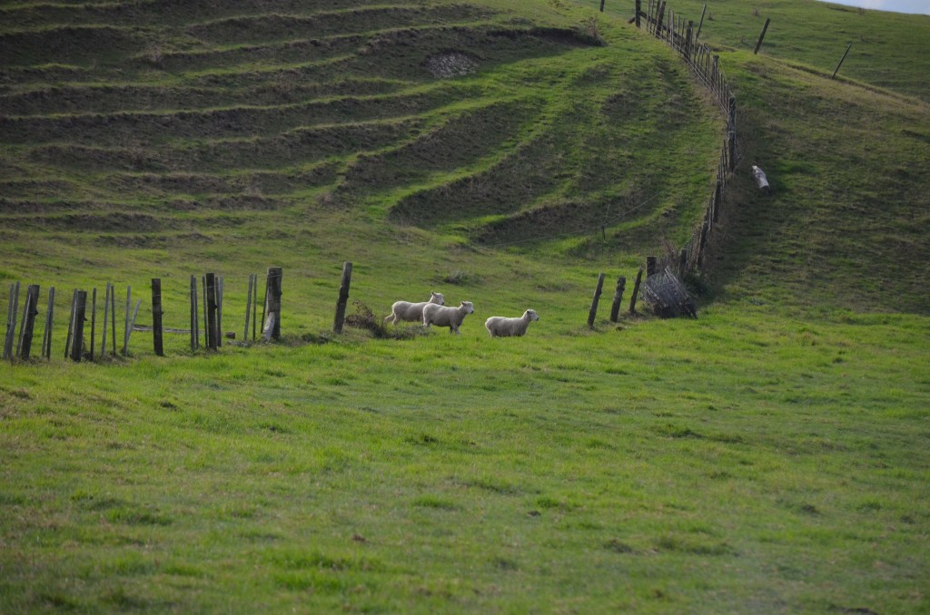 Sheep dog trials in the Northland