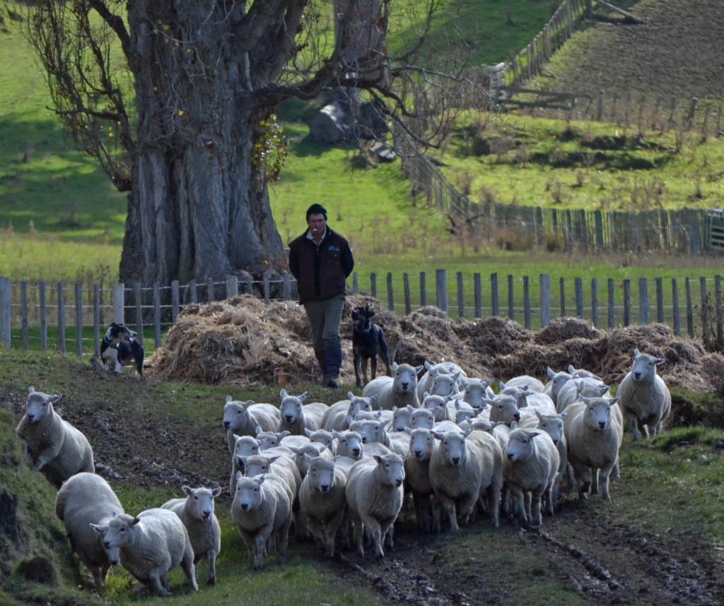 Lotsa Sheep